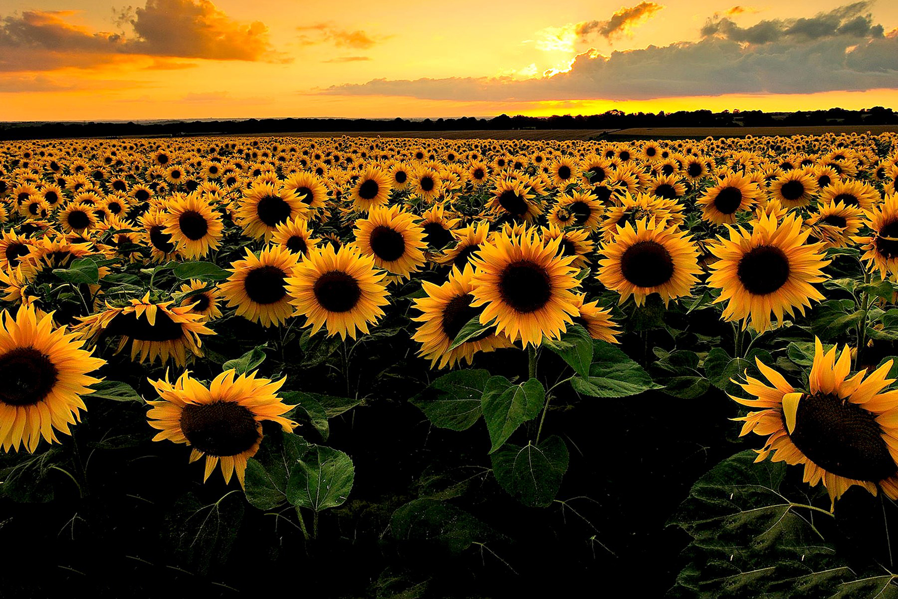 Sunflower Meal